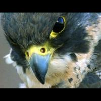 Zyro_Falcon